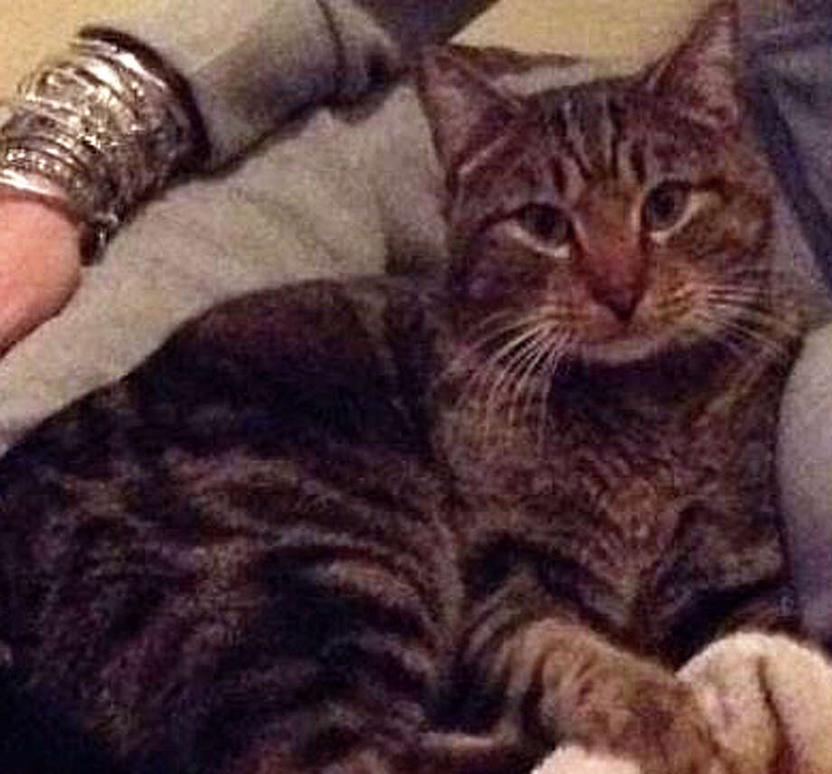 Help in finding Roxer, a male tabby cat that escaped during an adoption event Saturday at the local Petco store, is sought by the group that organized the program. Photo: Contributed Photo / Contributed Photo / Fairfield Citizen