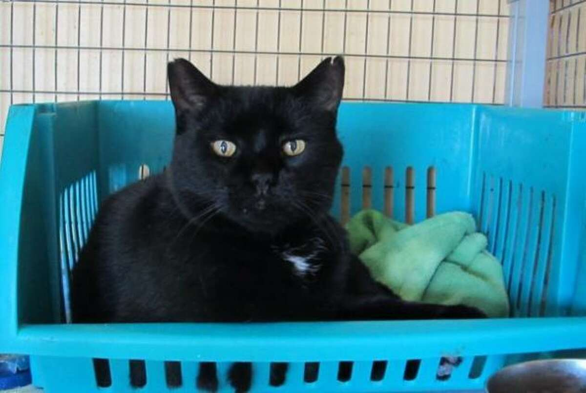 Binx ?- a handsome, loving and deaf cat ?- is overwhelmed at the shelter and needs to find a forever home. (Mary Lou Baker)