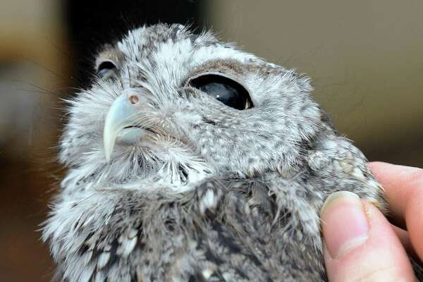 Shaker High student Malerie Muratori talks with a screech owl named Edith Ann at Whispering Willow Wildcare on Saturday Jan. 16, 2016 in Guilderland, N.Y. (Michael P. Farrell/Times Union)