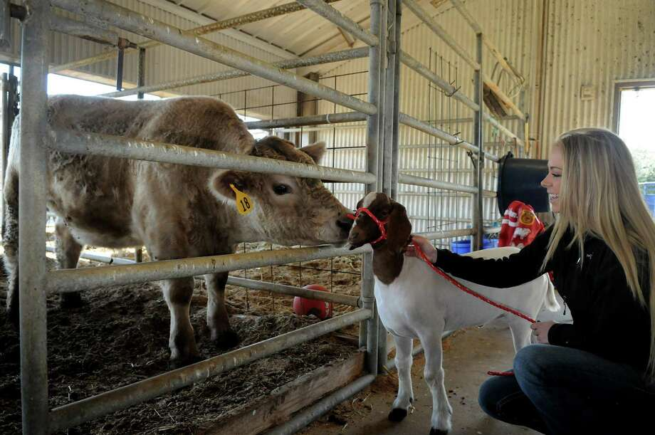 "Hannah Carroll and  ""Clyde"", her Boar Cross goat, visit a steer during a work day at the Tomball ISD Ag Barn in preparation for last year's Tomball ISD FFA Project Show and Sale. Photo: Jerry Baker, Freelance"