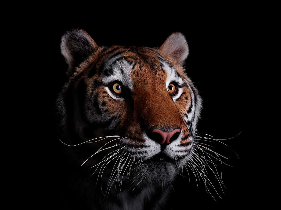 Studio portrait of a male tiger Photo: Brad Wilson, Getty Images / (c) Brad Wilson