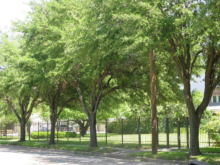 A committee of enviornmental groups, residents and businesses want to protect the canopy of trees along Yale Street. (Urban Forestry Committee)