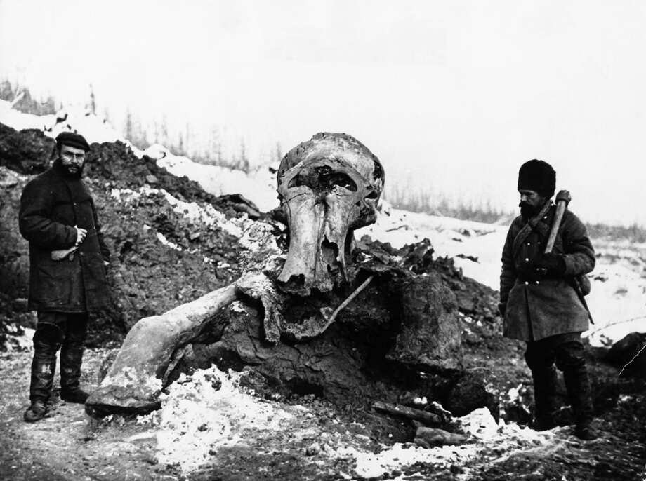 Psssst    Want to buy a woolly mammoth tusk? - SFGate