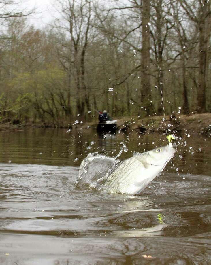 The annual white bass spawning run on the Sabine River above Toledo Bend Reservoir has kicked off, signaling the start of what can be outstanding wintertime fishing in several rivers in eastern and central Texas. Houston Chronicle photo by Shannon Tompkins Photo: Picasa