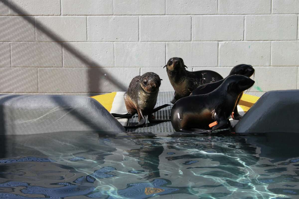 Pipester, left, on January 20, 2016 at the Marine Mammal Center in Sausalito, Calif. The center wanted to keep him there until he had enough blubber to be released back into the wild.
