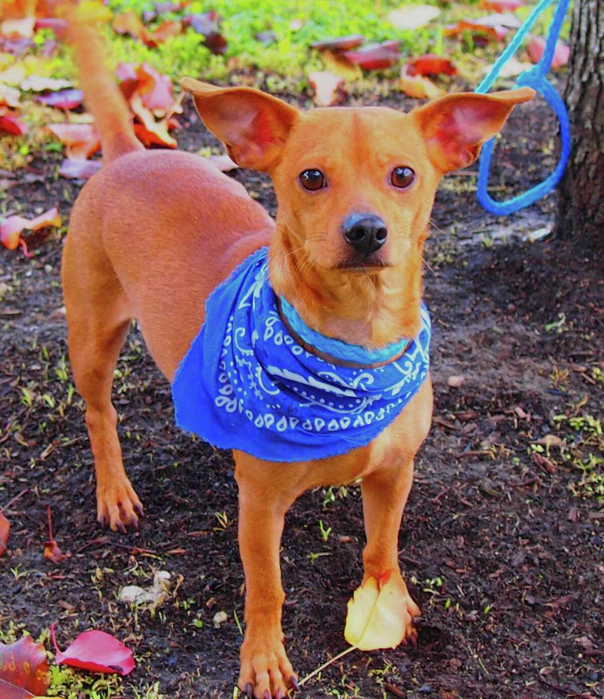 Chase will be available for adoption at 11 a.m. Friday at Citizens for Animal Protection, 17555 Interstate 10 W. More information: cap4pets.org or 281-497-0591.