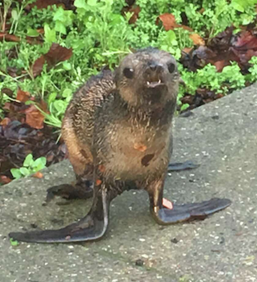 A northern fur seal pup nicknamed Pipester turned up at the front door of a Hayward ironworks shop on Wednesday, Jan. 20, 2016. Photo: Matthew Van Valkenburg