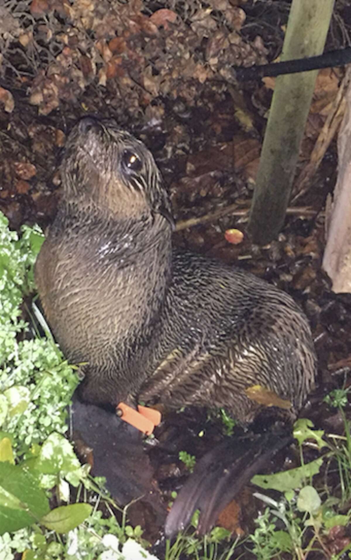 A northern fur seal pup nicknamedPipesterturned up at the front door of a Hayward ironworks shop on Wednesday, Jan. 20, 2016.