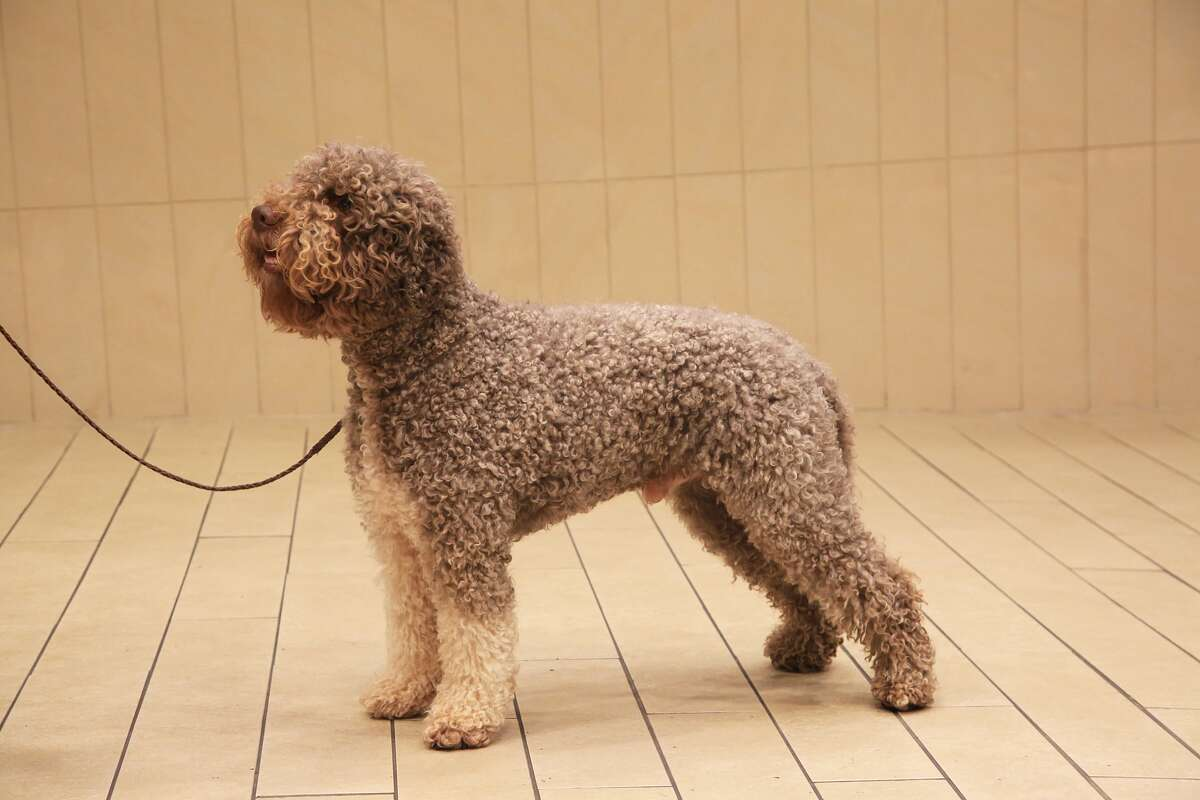 """Lagotto Romagnolo The Lagotto Romagnolo is one of seven dog breeds being added to the Westminster Kennel Club Dog Show this year. According to the kennel club, the breed is """"enjoying a second career as the world's foremost truffle hunting dog. The rustic curly coat which once protected the dog from freezing water, now keeps him safe from thorns and brambles as he searches the forest for truffles, buried deep in the ground. In the mid 19th century, concerned breeders began an effort to breed dogs that would ignore game and to develop the large nose and nasal passages that make him an expert in following scent. Agile in both mind and body, he has the endurance to work all day in challenging terrain and weather."""""""
