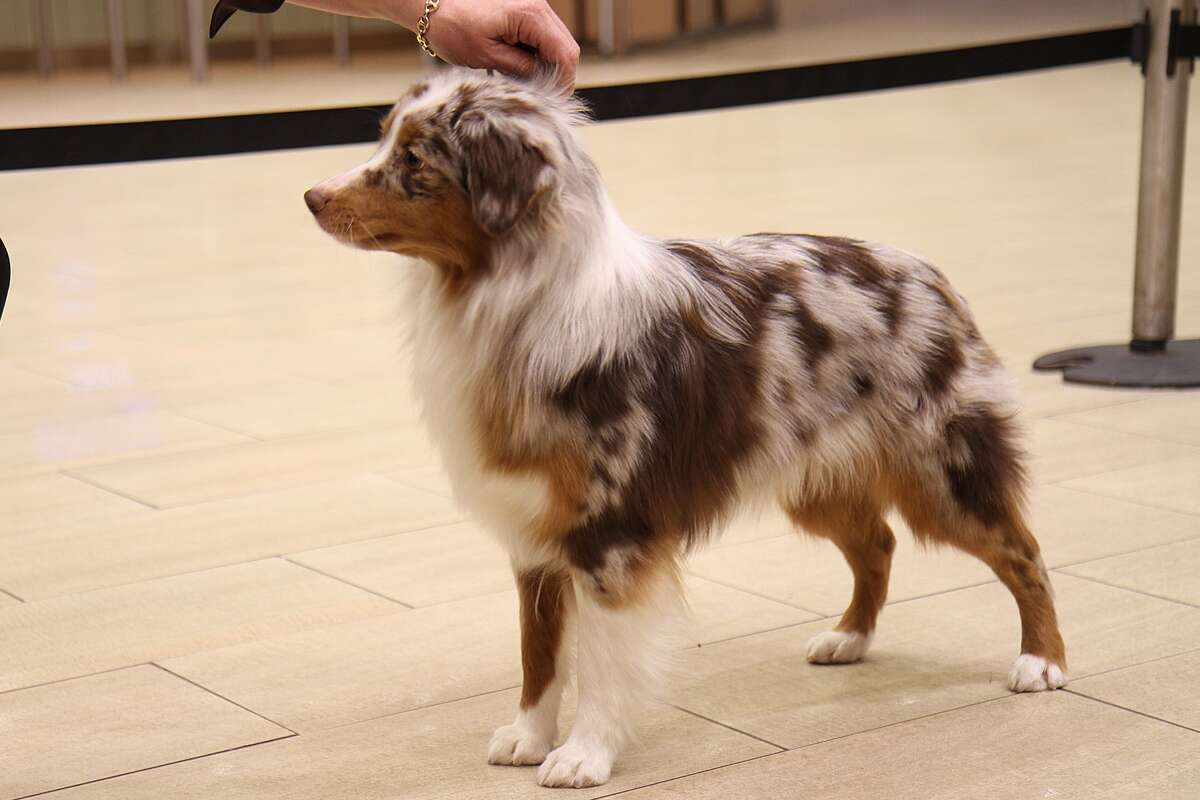 """Miniature American Shepherd This is one of seven dog breeds being added to the Westminster Kennel Club Dog Show This year. Here's how the kennel club describes this little guy: """"Developed in the American West in the late 1960's, the highly active Miniature American Shepherd is a small herding dog of extensive versatility. Formerly known as the Miniature Australian Shepherd, they are are up to 18 inches tall and up to 35 pounds as adults. They come in a variety of colors and are to be presented in a natural fashion, not to be sculpted by scissoring. Whether working stock, navigating an agility course, visiting a nursing home or riding the family couch, this intensely curious and intelligent dog does it with all due diligence and a wicked sense of humor."""""""