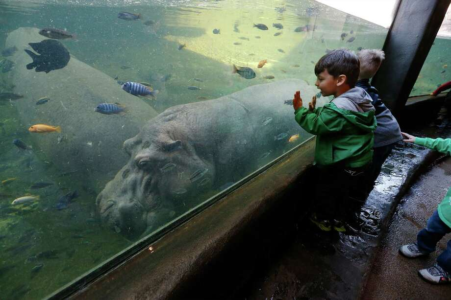 Pre-school children get an up close view of a hippopotamus at the Africa Live exhibit during a class walking tour on Thursday, Jan. 21, 2016. Since 2004, the San Antonio Zoo offered pre-school children an opportunity to attend school at Zoo School right on the zoo premises. Operated through the education division, children from three to five years of age can attend pre-school five days a week. The children are given a unique experience of learning through a virtual interaction with the animals and exhibits. (Kin Man Hui/San Antonio Express-News) Photo: Kin Man Hui, Staff / San Antonio Express-News / ©2016 San Antonio Express-News