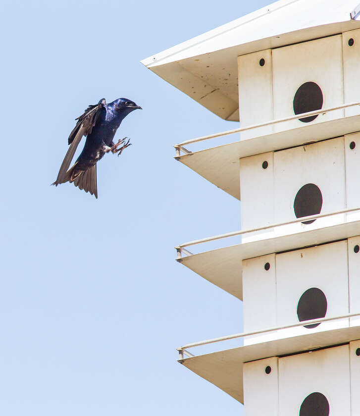 """Purple martin é¢Ã©""""éºscoutsé¢Ã©""""é¹, older males and females, will arrive in our area between mid-January and early February to stake out new homes for the summer.  Photo Credit:  Kathy Adams Clark  Restricted use."""
