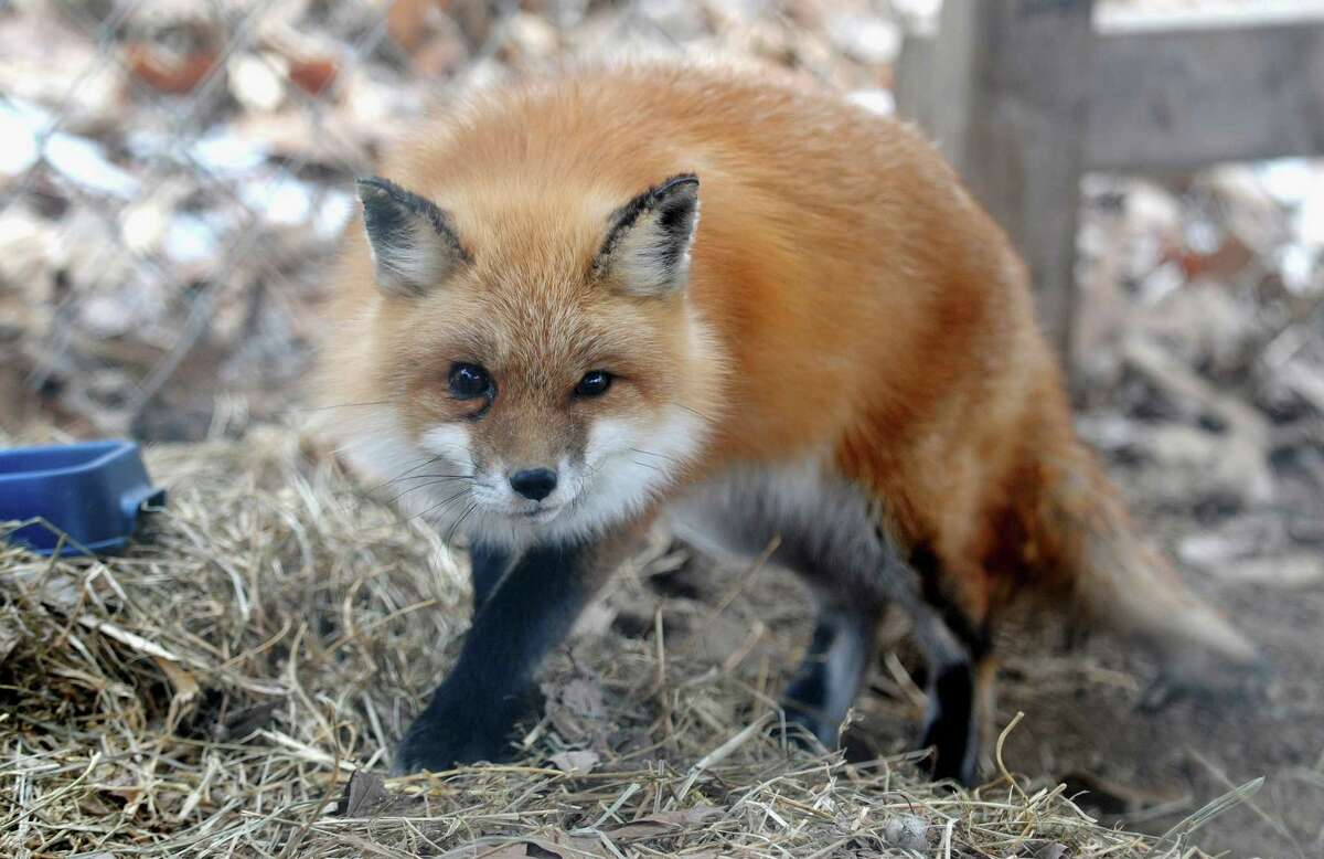 A red fox in captivity. A similar fox was caught earlier this month in leg hold trap set by a nuisance wildlife control operator on Brisco Road in New Canaan.