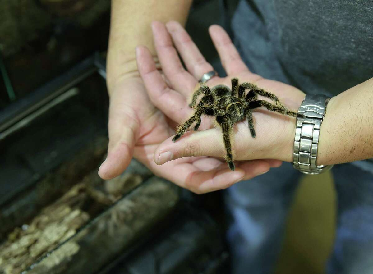 Ben Quintana of Creative Inverts holds a male tarantula he's selling at the Sunday, Jan. 24, 2016, in Conroe.