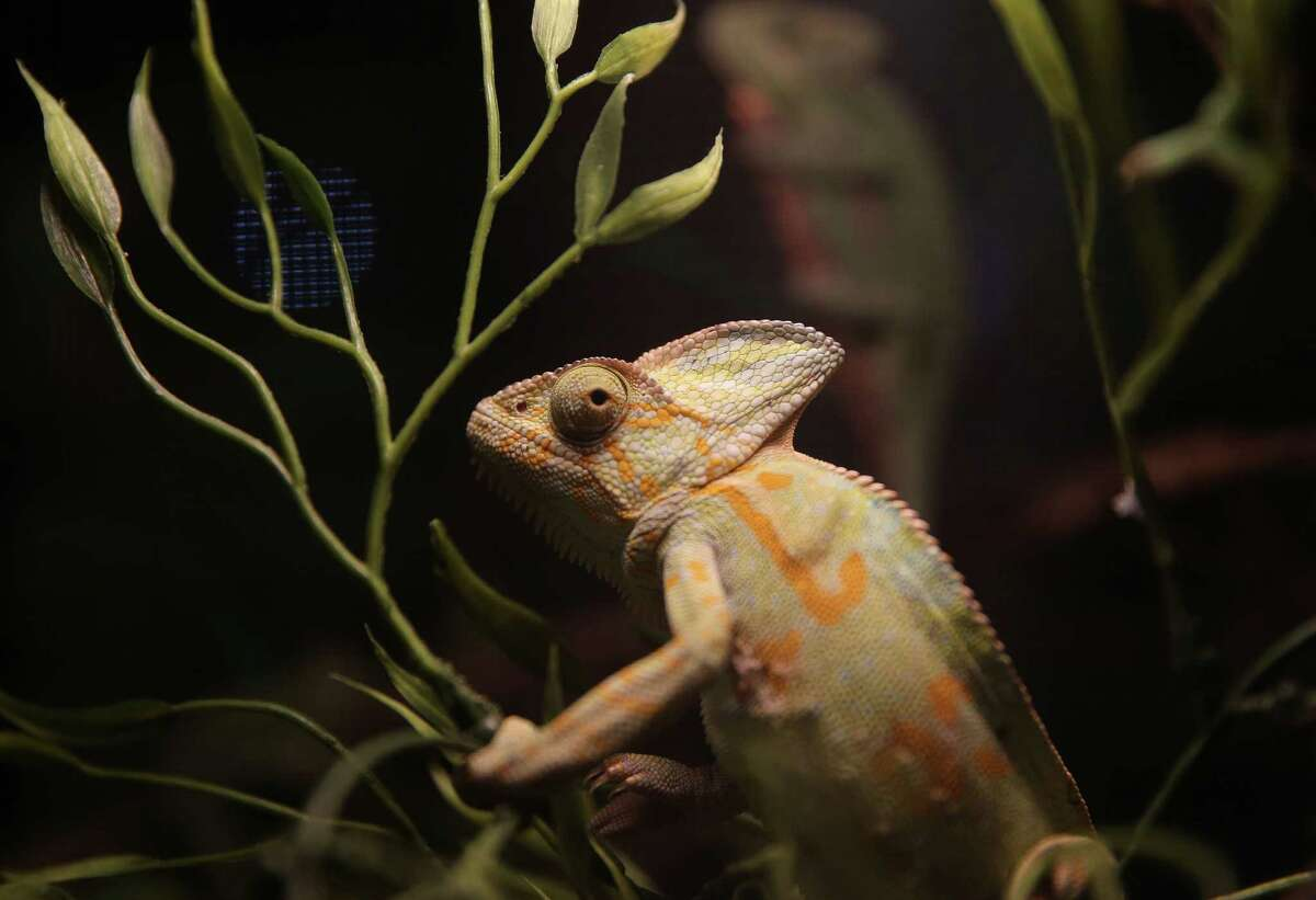 A veiled chameleon for sale at the Houston Exotic Reptile and Pet Show on Sunday, Jan. 24, 2016, in Conroe.