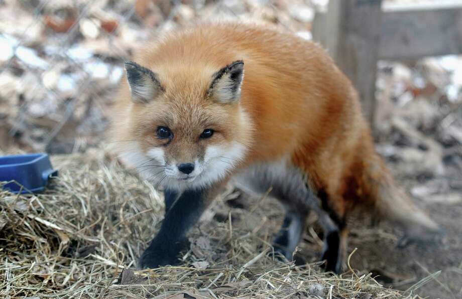A red fox in captivity. A similar fox was caught earlier this month in leg hold trap set by a nuisance wildlife control operator on Brisco Road in New Canaan. Photo: Adam Testa / Associated Press / The Southern