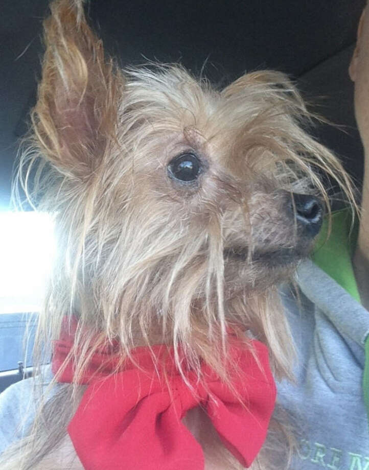 Ginger, a Yorkshire terrier, was found in northwest Houston Jan. 12, 2016, 10 years after she disappeared from her home in Miami. (Katherine Fraser / The Sage Leopard)