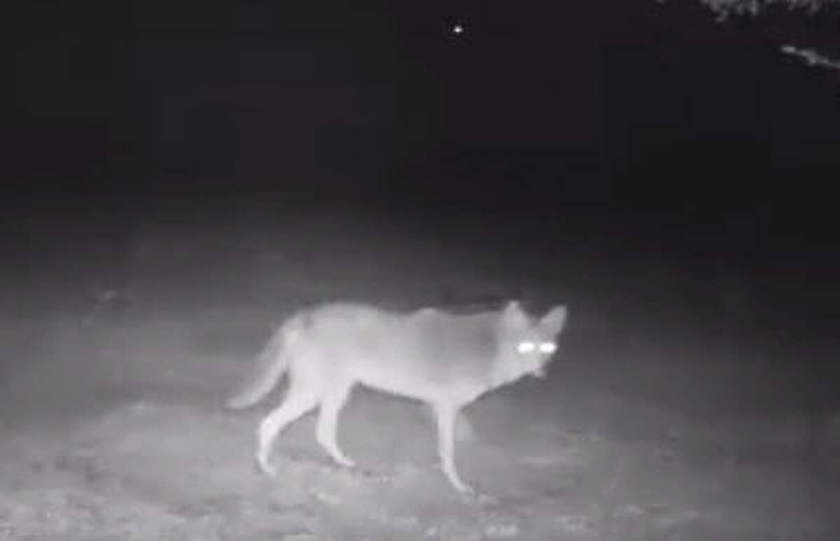 TIPS TO AVOID COYOTE PROBLEMS Coyote sightings are common in the Houston area, especially in suburban areas where there is a lot of new construction. Click through the slideshow for some tips on avoiding coyotes and other predatory wildlife. This photo: This coyote was seen Jan. 19, 2016, on a residential game camera in Fulshear, posted to Facebook by the Fulshear Police Department. (Screen shot)
