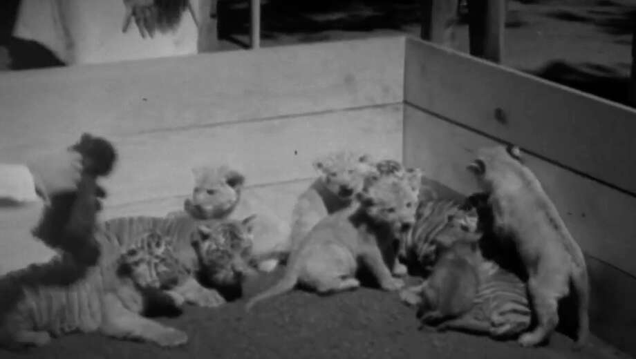 Ten lion, tiger and leopard cubs are processed after arriving at the San Francisco Zoo in 1933.