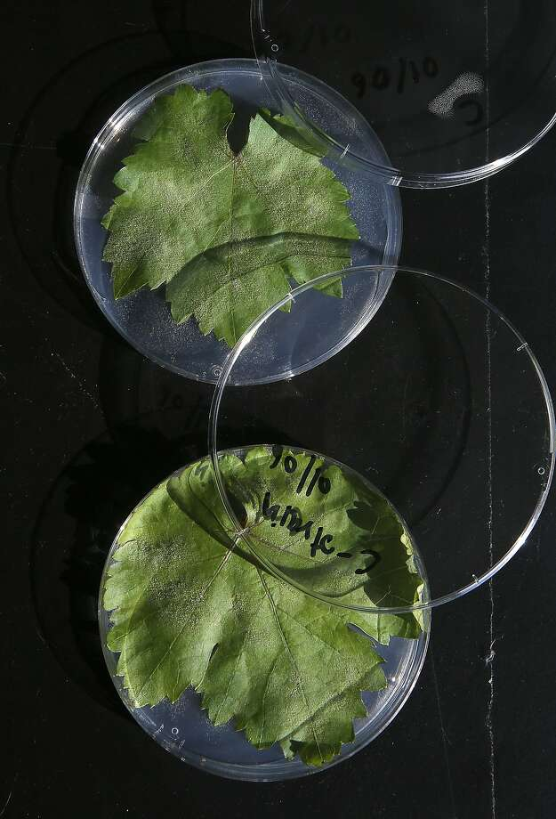 Powdery mildew table grape leaves is under study in the labs at UC Davis. Photo: Liz Hafalia, The Chronicle