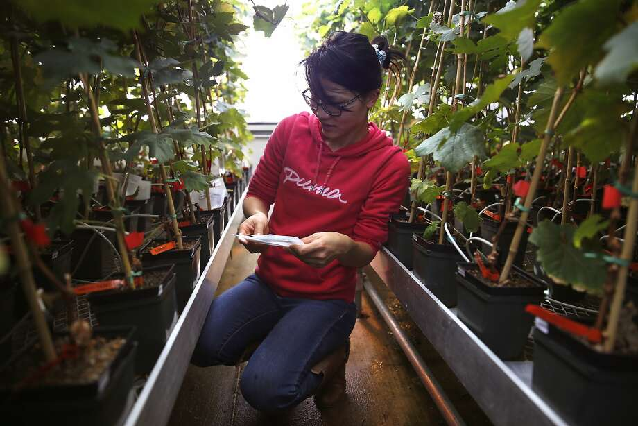 Student Lina Long places bags to collect vine samples with Pierce's Disease in a Davis greenhouse. Photo: Liz Hafalia, The Chronicle
