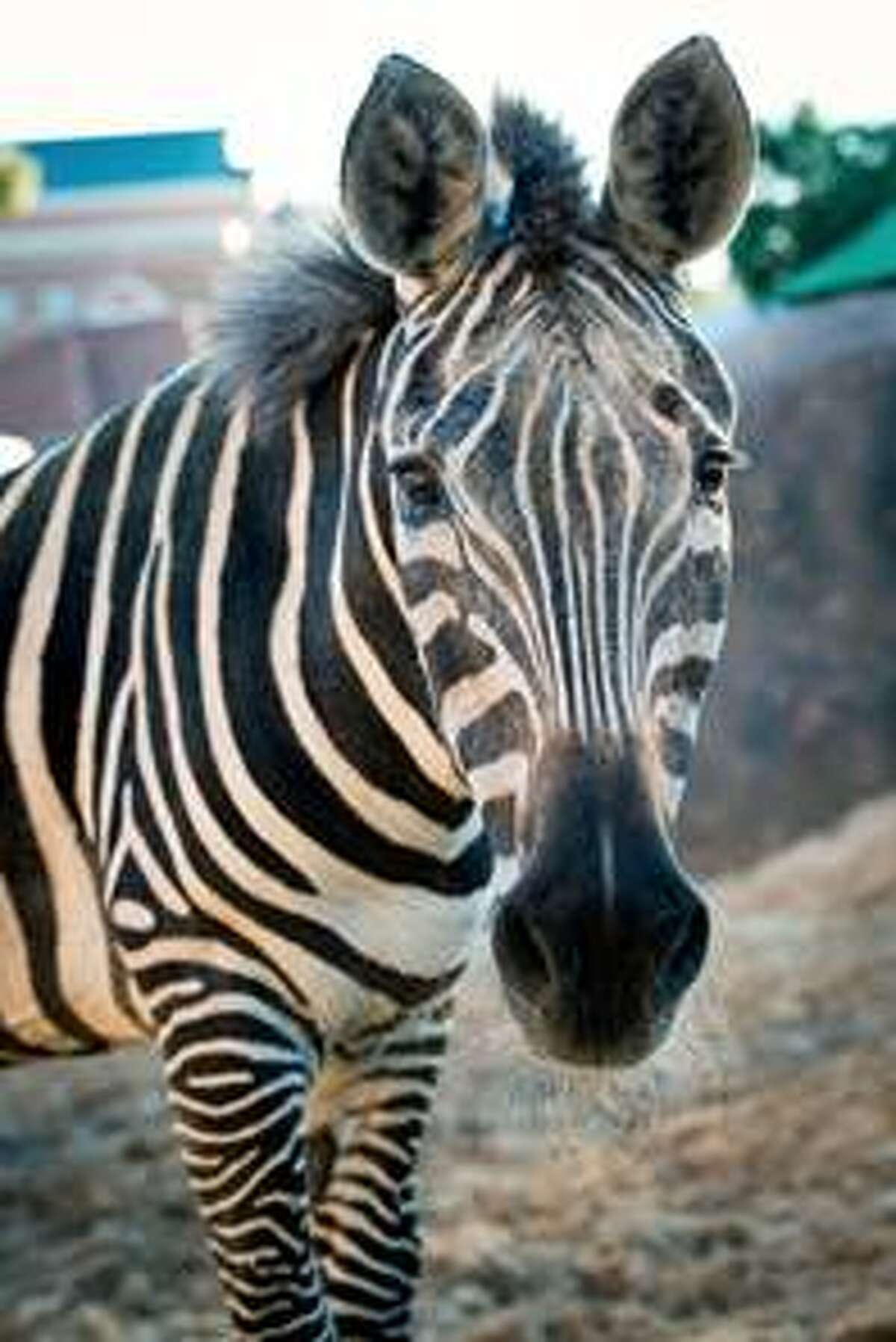 Charlie, a zebra that died on Sunday, will be missed by many, the Houston Zoo says. Continue clicking to see other animals, past and present, from the Houston Zoo.