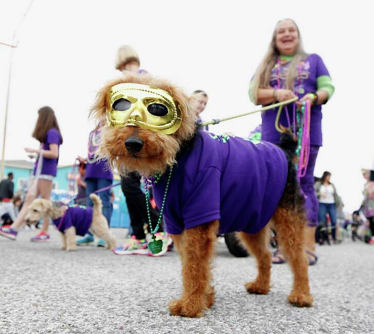 Anne Franklin and her Welsh Terrier Baxter Brunley during the 17th annual Krewe of Barkus & Meoux Parade Sunday, Feb. 15, 2015, in Galveston. ( James Nielsen / Houston Chronicle )