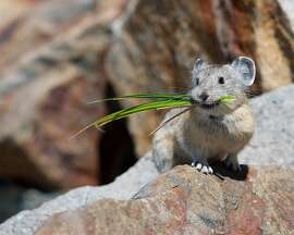 An American pika photographed at Yosemite National Park last year by Jen Joynt of Berkeley won the Wildlife Photo of the Year from the state magazine Outdoor California and the California Department of Fish and Wildlife