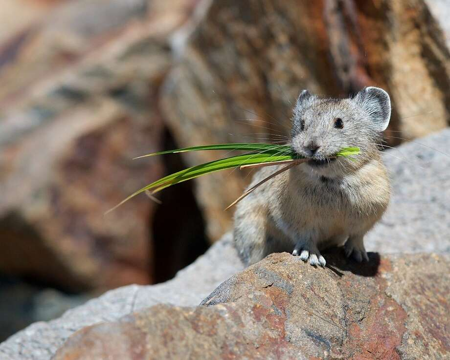 Rare shot of a pika chosen as Wildlife Photo of the Year