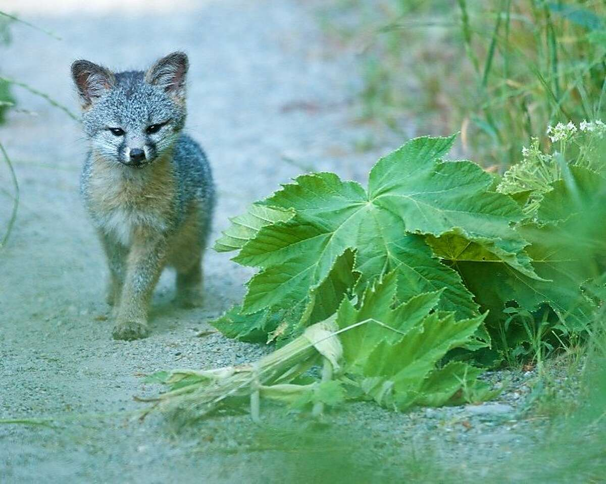 A juvenile fox photographed at Point Reyes National Seashore last year by Jen Joynt of Berkeley won honorable mention for Wildlife Photo of the Year contest from the state magazine Outdoor California and the California Department of Fish and Wildlife