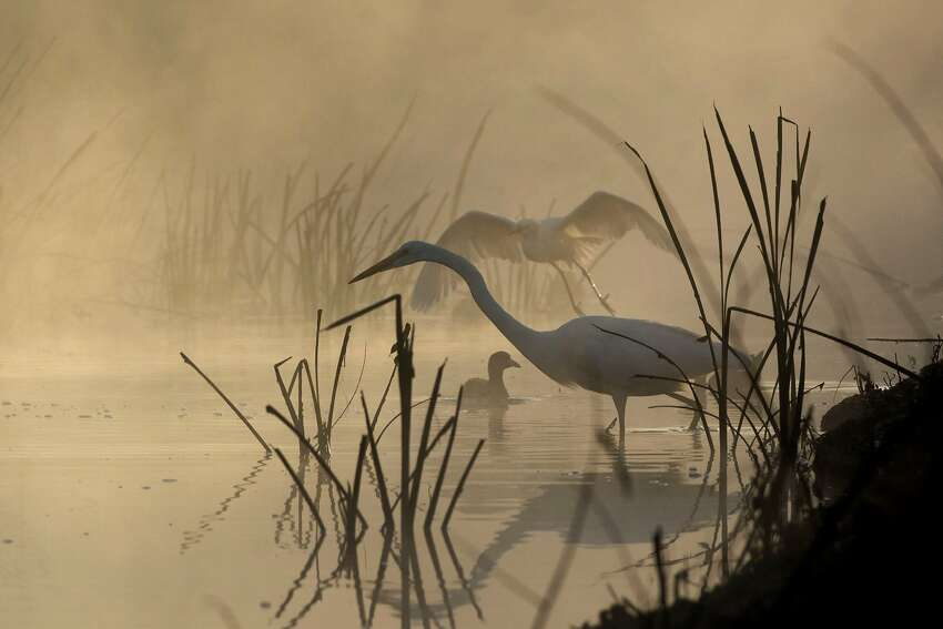 Egrets in tule fog at San Joaquin Wildlife Sanctuary was a finalist for Wildlife Photo of the Year contest from the state magazine Outdoor California and the California Department of Fish and Wildlife