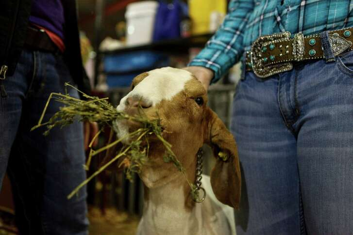 A Madison FFA student's goat snacking on some alfalfa shortly before competing at the San Antonio Stock Show and Rodeo on Feb. 19, 2015.