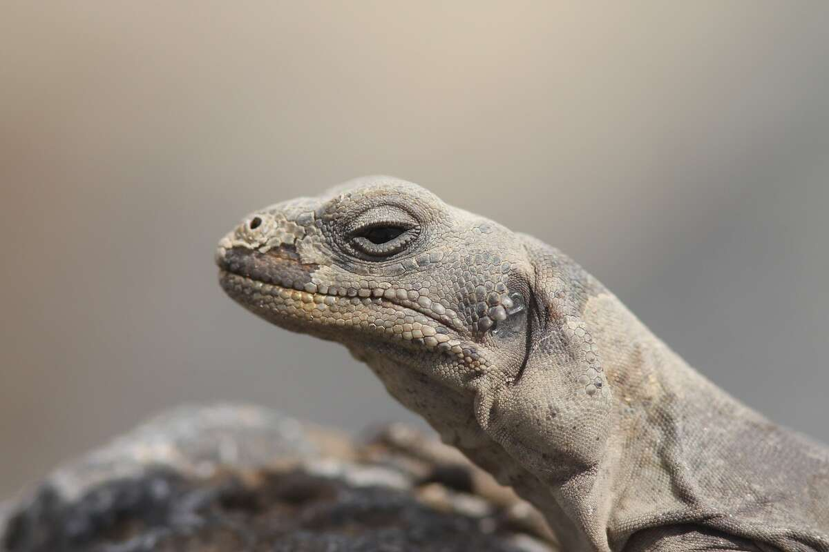 A chuckwalla is seen at the Amboy Crater in the proposed Mojave Trails National Monument site.