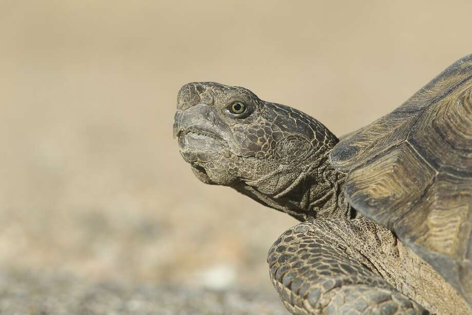 FILE – A desert tortoise is seen in the Castle Mountains in this file photo. A 115-year-old tortoise that went missing in New Mexico was found on Friday, the Albuquerque Journal reports. Photo: David Lamfrom, National Parks Conservation Asso