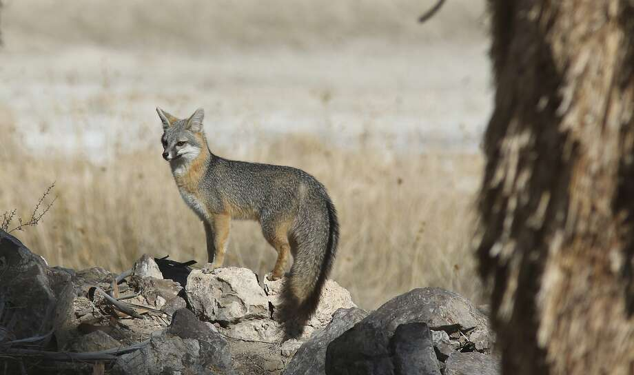 Kit foxes are among the many wildlife species that can be seen at all three designated national monument sites in the desert. Photo: David Lamfrom, National Parks Conservation Asso
