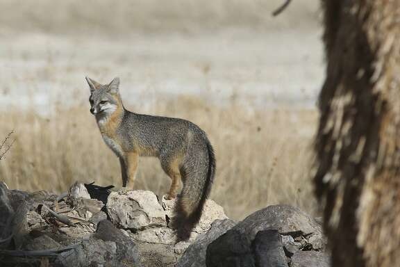 Kit Foxes can be seen at all three proposed national monument sites
