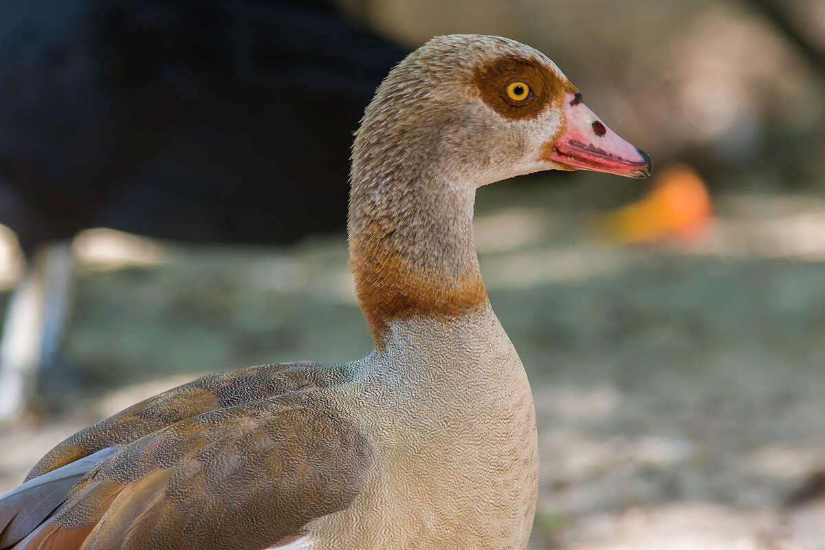 Egyptian geese don't appear to be harmful to natural ecosystems or to native waterfowl.