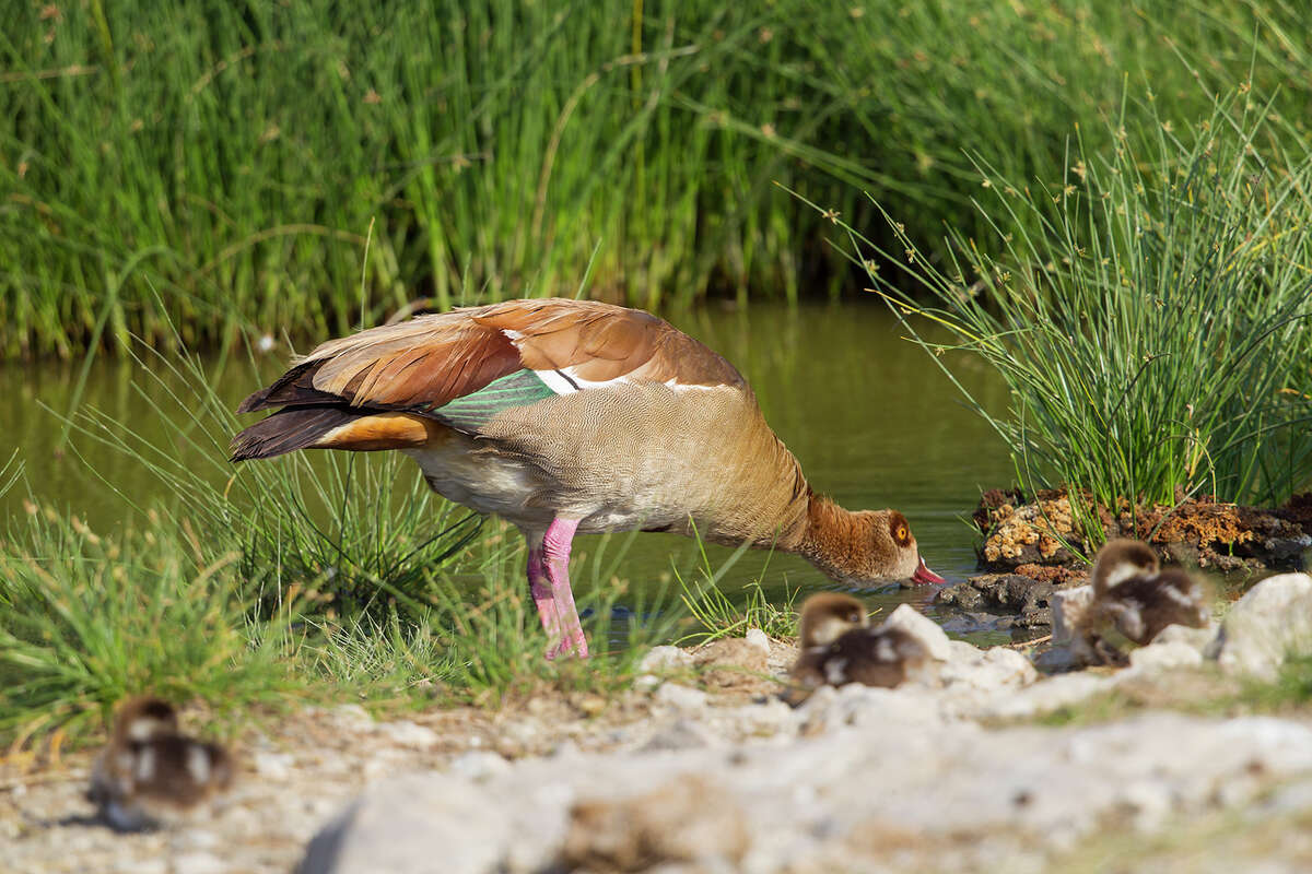 Egyptian geese are native to Africa. They arrived in North America last century to decorate private ponds and aviaries but many escaped to the wild. Photo Credit: Kathy Adams Clark. Restricted use.
