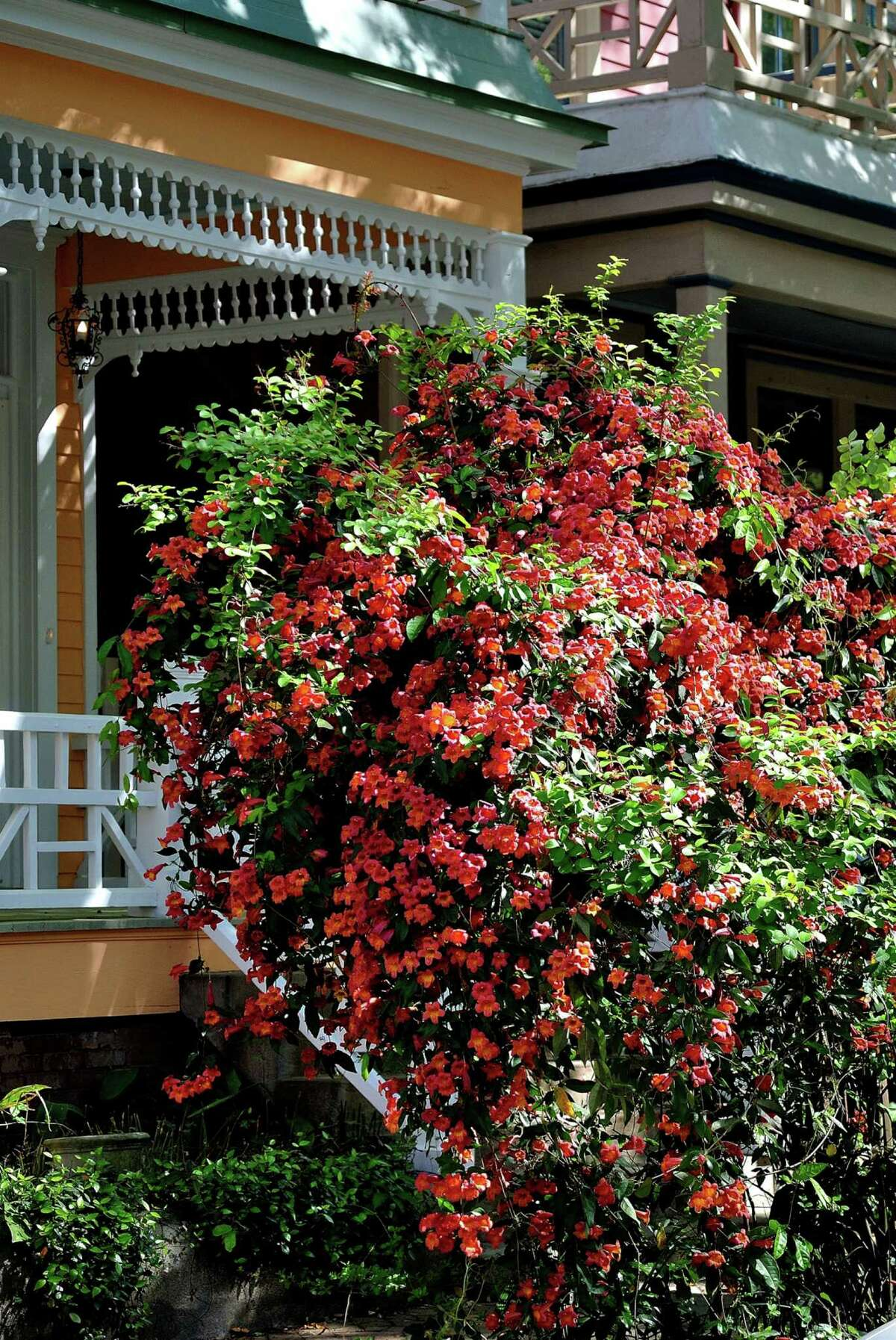 The native cross vine is a great choice for trellises and arbors giving a vertical dimension to the landscape. (TNS)