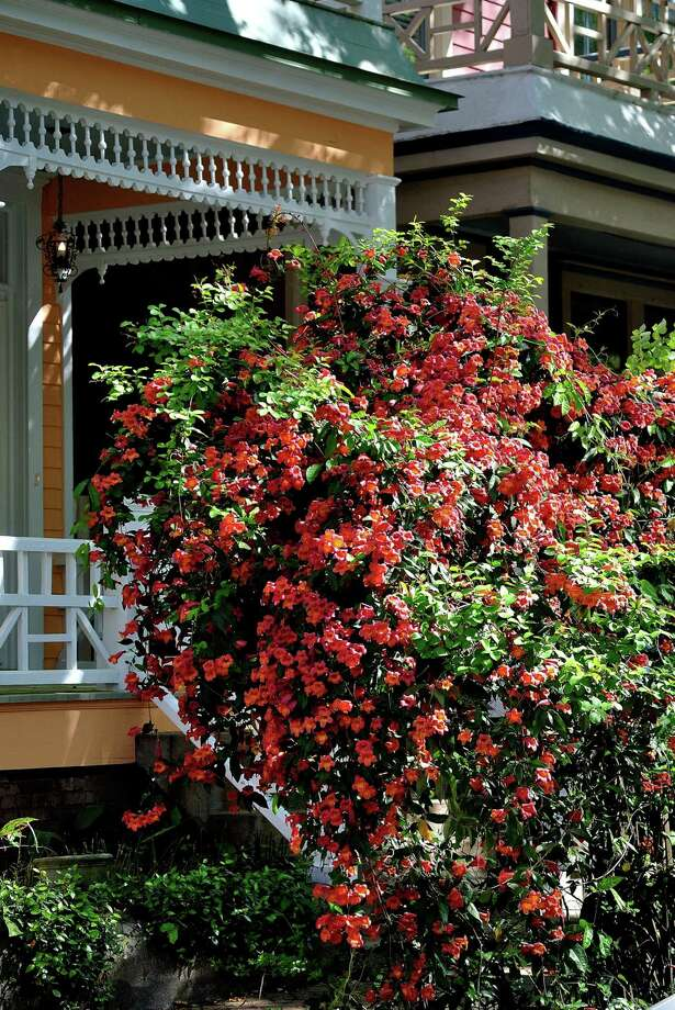 The native cross vine is a great choice for trellises and arbors giving a vertical dimension to the landscape. (TNS) Photo: Handout, HO / TNS