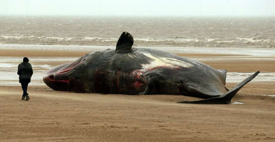A dead sperm whale on a beach in Skegness, England, Tuesday Jan, 26, 2016. Five sperm whales have been washed up on the Lincolnshire coast, believed to be from the same pod. Photo: Chris Radburn, AP / PA