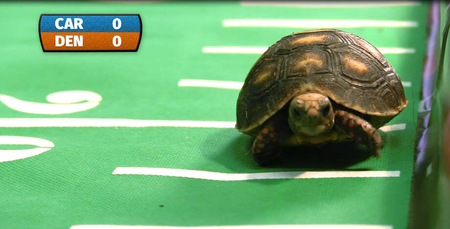 ShowdownMoody Gardens turtles square off to predict who will win Super Bowl 50.