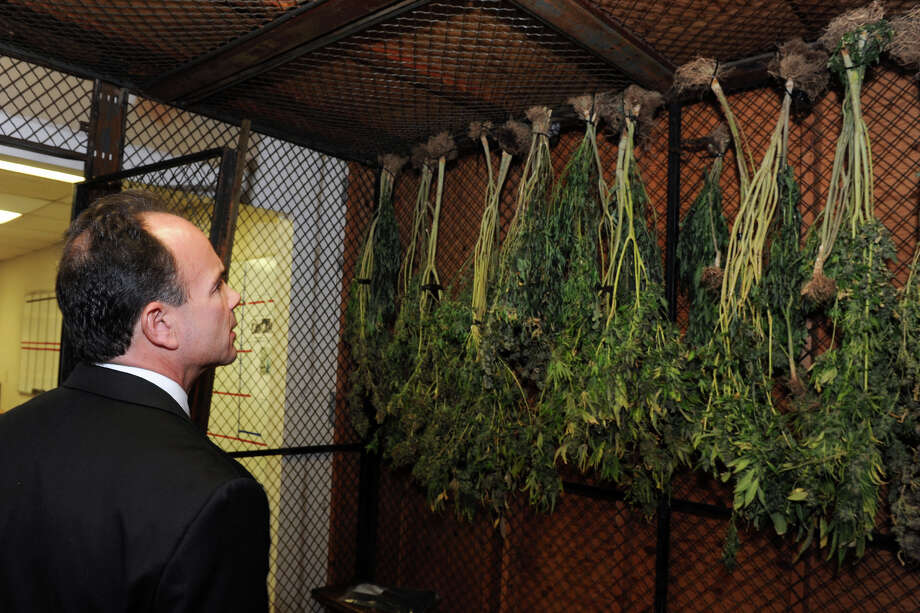 Mayor Joe Ganim looks at confiscated marijuana plants Monday that were part of major cache of drugs and guns seized in a raid by the Violent Crime Reduction Task Force in Bridgeport. One man was arrested in the Saturday night raid, and 85 marijuana plants growing in the Aldine Avenue home were seized. Photo: Ned Gerard / Hearst Connecticut Media / Connecticut Post
