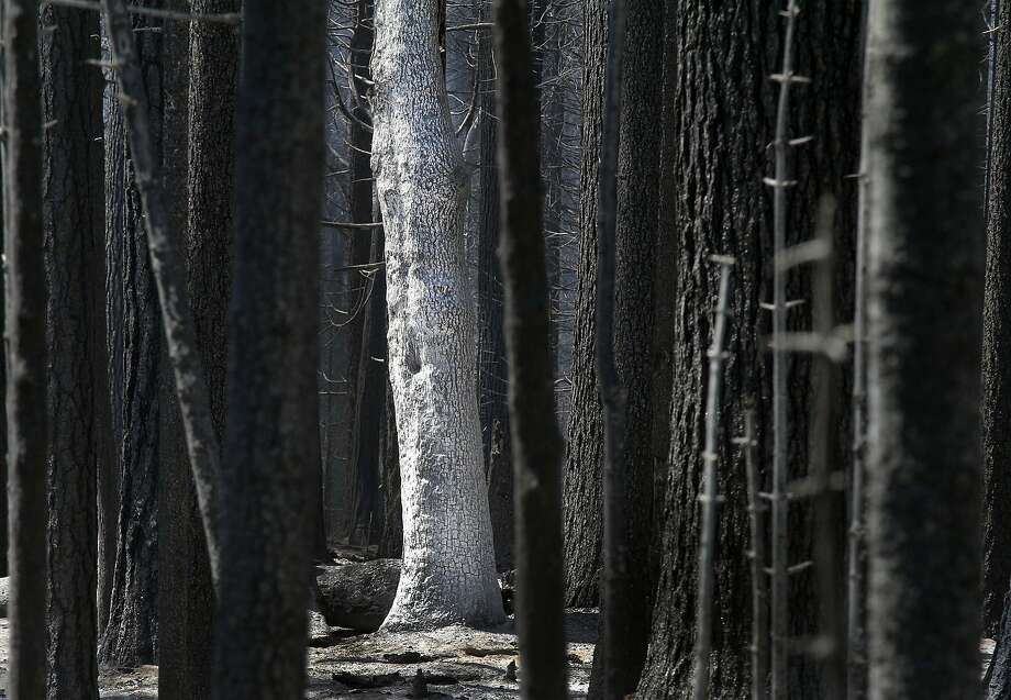 After the 2013 Rim Fire, an oak tree's burned white bark contrasts with the black charred bark of pines. Photo: Lawrence K. Ho, LA Times Via Getty Images