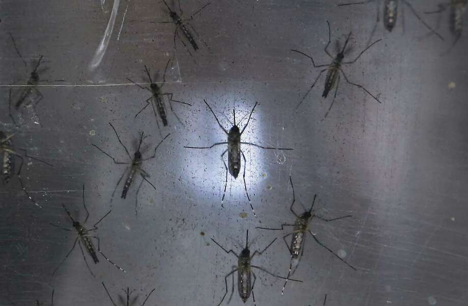 RECIFE, BRAZIL - JANUARY 26: Aedes aegypti mosquitos are seen in a lab at the Fiocruz institute on January 26, 2016 in Recife, Pernambuco state, Brazil. The mosquito transmits the Zika virus and is being studied at the institute. In the last four months, authorities have recorded close to 4,000 cases in Brazil in which the mosquito-borne Zika virus may have led to microcephaly in infants. The ailment results in an abnormally small head in newborns and is associated with various disorders including decreased brain development. According to the World Health Organization (WHO), the Zika virus outbreak is likely to spread throughout nearly all the Americas. Photo: Mario Tama /Getty Images / 2016 Getty Images