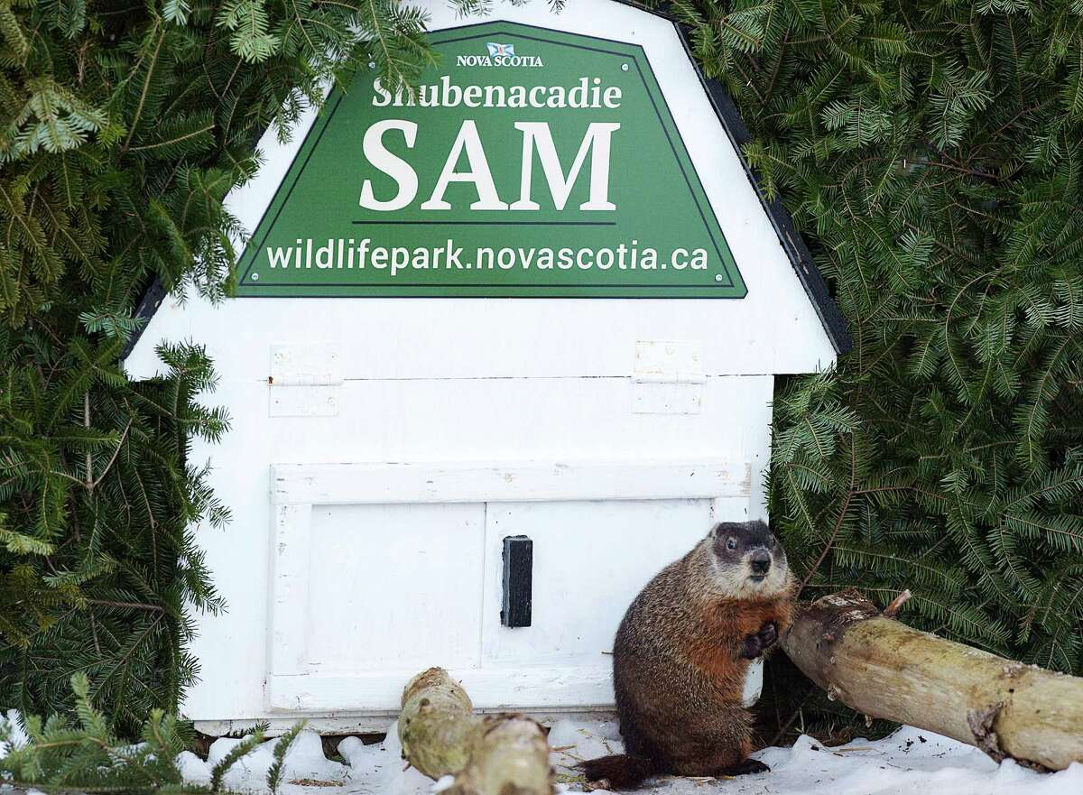 Everybody's in on it Nova Scotia's Shubenacadie Sam didn't see his shadow. Plenty of other groundhogs have tried to muscle in on Phil's act.
