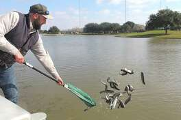 Ryan Lytle with Texas Parks & Wildlife Department releases 237 rainbow trout in the lake at Community Park in MIssouri City. The stocking is part of the department's Neighborhood Fishin' program in conjunction with the city of Missouri City.