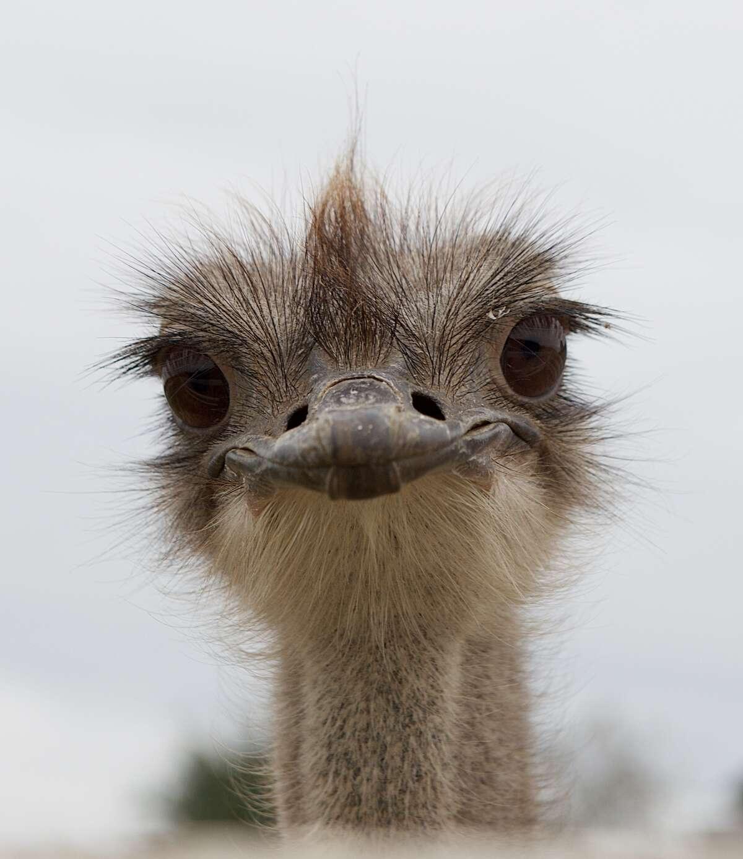 Portrait of an ostrich bird