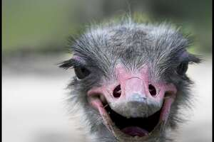 Close up of funny smiling Ostrich.