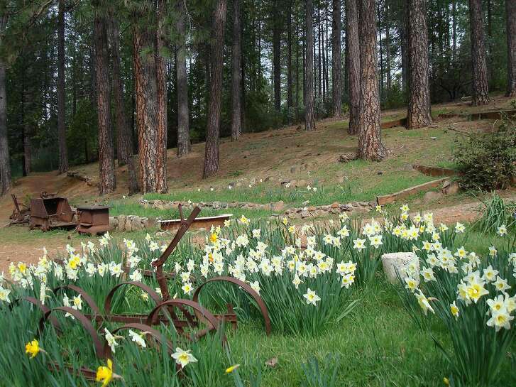 Daffodil Hill in the lush Sierra Ffoothills.